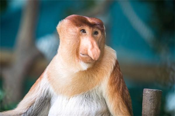 长隆野生动物世界首次引进濒危物种大鼻猴